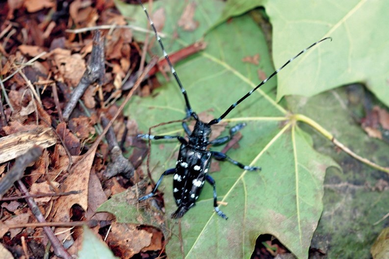 ... the north side of the city has been stripped of its shade trees,  victims of a slow but persistent invader from China—the Asian longhorned  beetle (ALB).